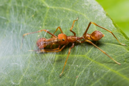 Male Myrmarachne plataleoides jumping spider on cobweb photo