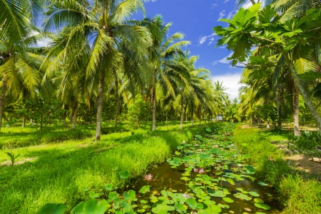 Field of coconut trees in thailand photo