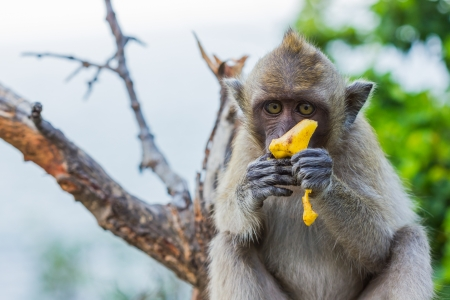 Long Tailed Macaque Monkey eating banana on tree Stock Photo