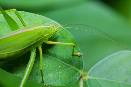 Great green bushcricket perched on a leaf photo