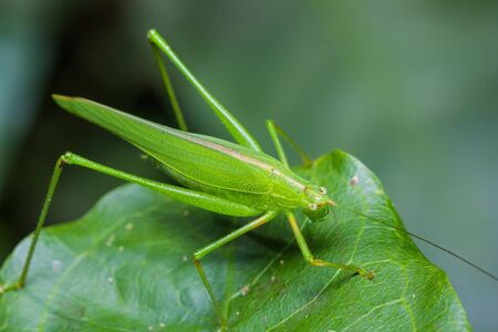 Great green bushcricket perched on a leaf Stock Photo - 16432211