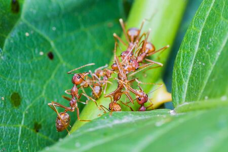 team work of red ants Stock Photo - 16432156