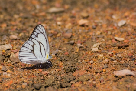 White butterfly gathering water on floor photo
