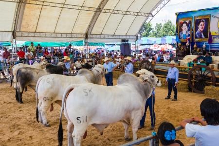 cultivator: PRACHUAPKHIRIKHAN, THAILAND - DECEMBER 16 : Unidentified cows at competition of beauty Livestock Show 2012 on December 16, 2012 in Pranburi, Prachuapkhirikhan, Thailand