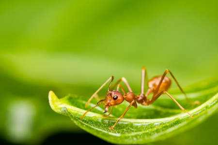 red ant on green leaf photo