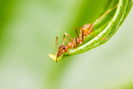 red ant on green leaf Stock Photo - 17021081
