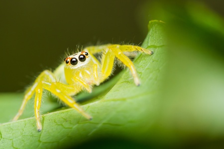 Epocilla calcarata jumping Spider on green leaf photo