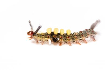 strange caterpillar with many venomous spines on white background photo
