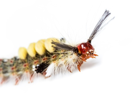 strange caterpillar with many venomous spines on white background Stock Photo - 17072901