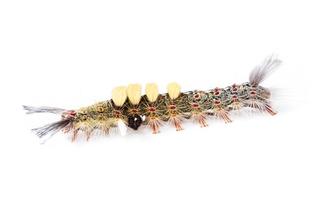 strange caterpillar with many venomous spines on white background Stock Photo - 17072910