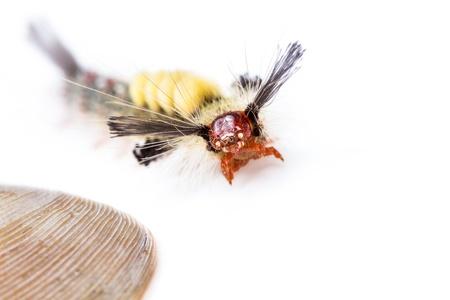 strange caterpillar with many venomous spines on white background Stock Photo - 17072907