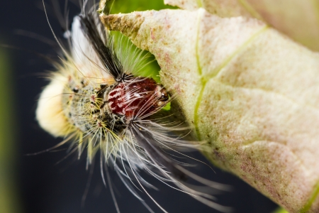 strange caterpillar with many venomous spines eating green leaf Stock Photo - 17072945