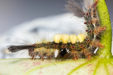 strange caterpillar with many venomous spines photo