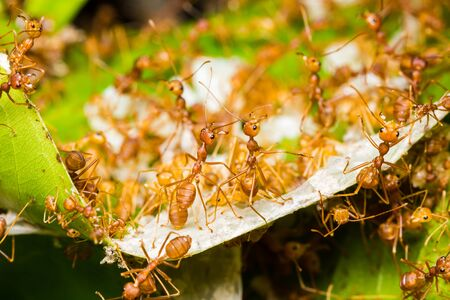 Red ants rescue of larvae in nest