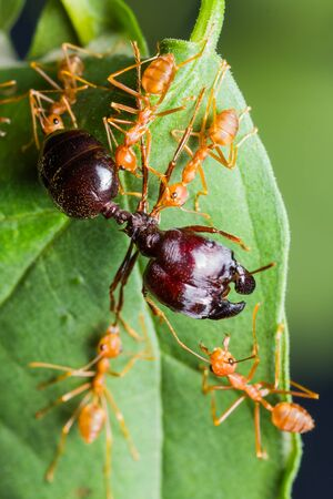 Red Ants army carrying food on green leaf photo