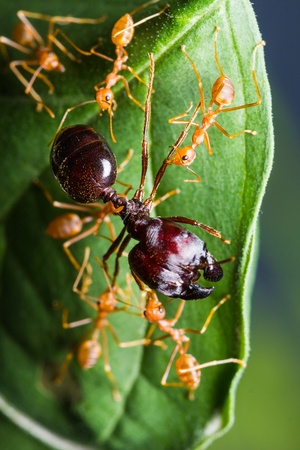 Red Ants army carrying food on green leaf Stock Photo - 17074245