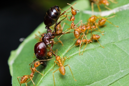 Red Ants army carrying food on green leaf