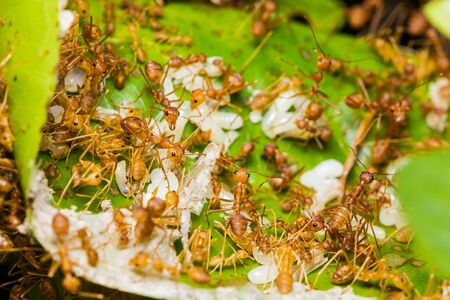 Red ants rescue of larvae in nest photo