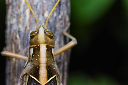 Close up of a big grasshopper on branch photo