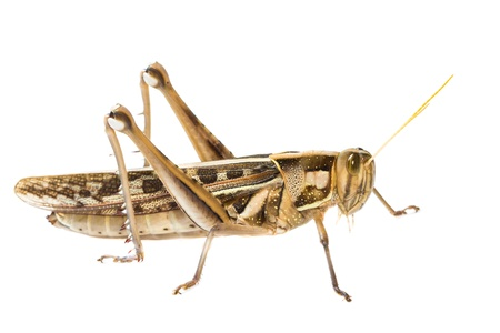 Close up of a big yellow grasshopper on white background Stock Photo