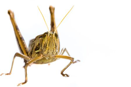 Close up of a big yellow grasshopper on white background photo