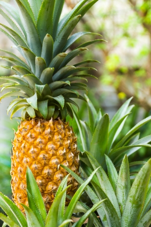Close up of ripe pineapple photo