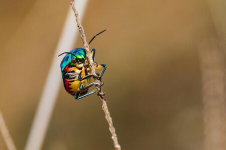 extreme angle: Close up of Jewel Bug in the nature