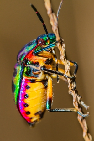 Close up of Jewel Bug in the nature photo