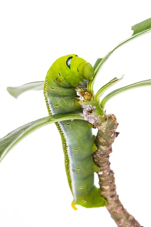 Isolated Green caterpillar eating green leaf Stock Photo