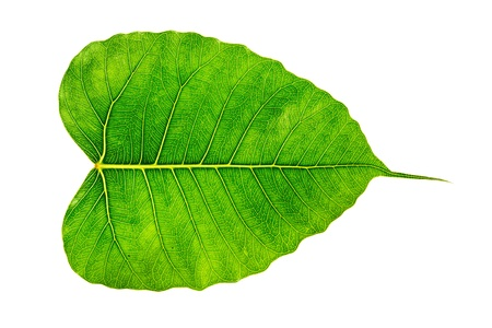pipal: Bodhi or Sacred fig leaf on white background Stock Photo