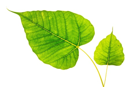 Bodhi or Sacred fig leaf on white background photo