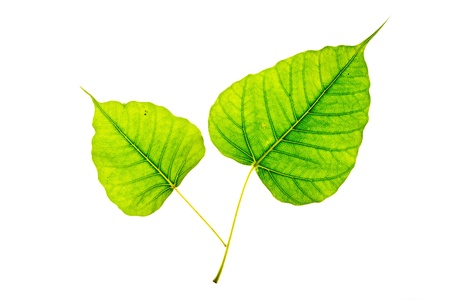 Bodhi or Sacred fig leaf on white background Stock Photo