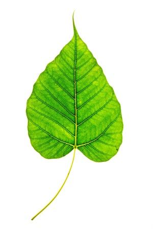 Bodhi or Sacred fig leaf on white background photo