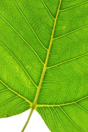 Texture of Bodhi or Sacred fig leaf photo