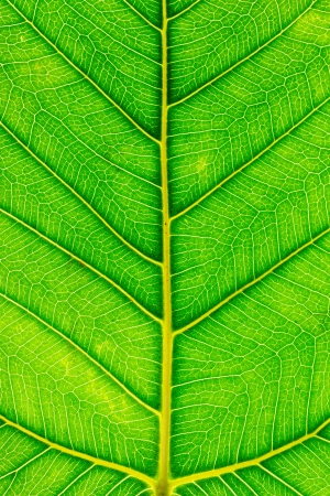 Texture of Bodhi or Sacred fig leaf