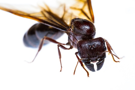 Close up of black queen ant on white background