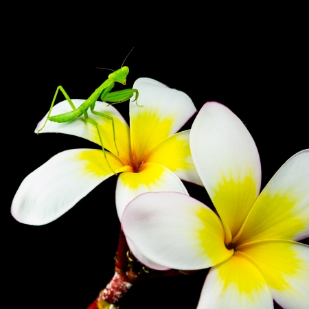 Isolated of Praying Mantis on plumeria flower Stock Photo