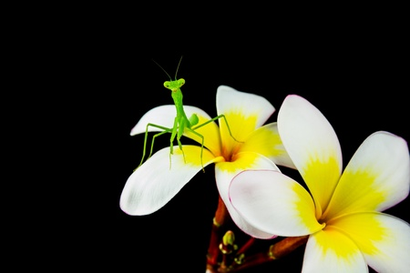 Isolated of Praying Mantis on plumeria flower photo