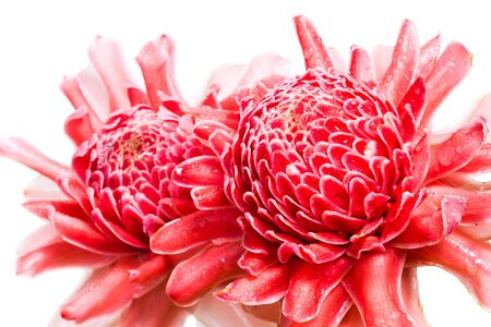 Two flower of torch ginger, etlingera elatior family zingiberaceae on white background photo