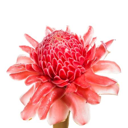 flores exoticas: Flor roja de la antorcha jengibre, etlingera elatior familia zingiberaceae sobre fondo blanco Foto de archivo