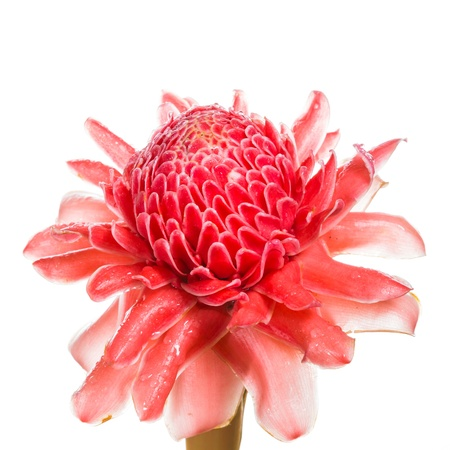 ginger flower plant: Red flower of torch ginger, etlingera elatior family zingiberaceae on white background Stock Photo