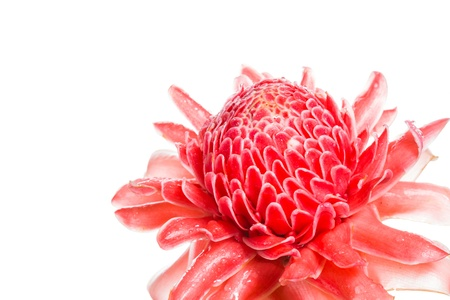 Red flower of torch ginger, etlingera elatior family zingiberaceae on white background photo