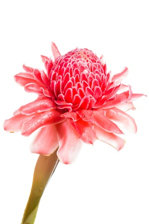 Red flower of torch ginger, etlingera elatior family zingiberaceae on white background Stock Photo