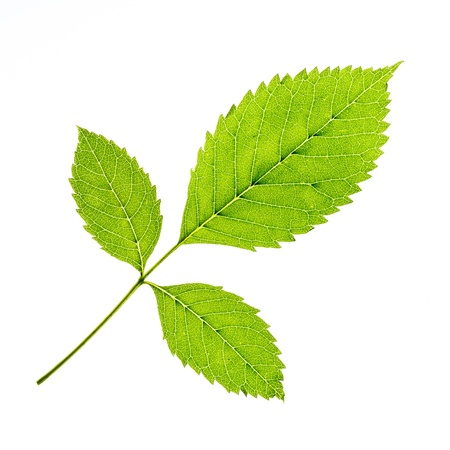 Green leaf of a plant on white background Stock Photo