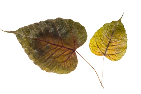 Dry leaf on white background photo