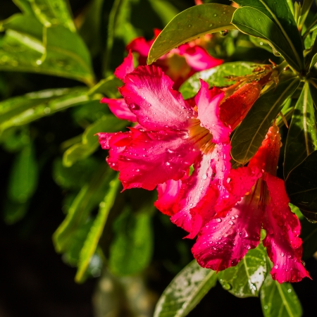 Close up of raindrops on pink impala lily photo