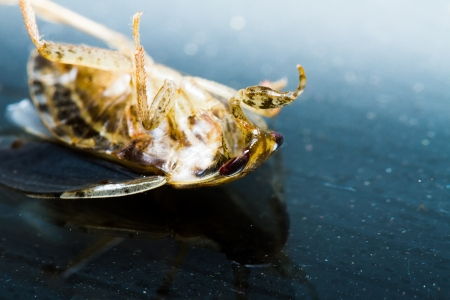 Young giant water bug die on black background Stock Photo - 20621812