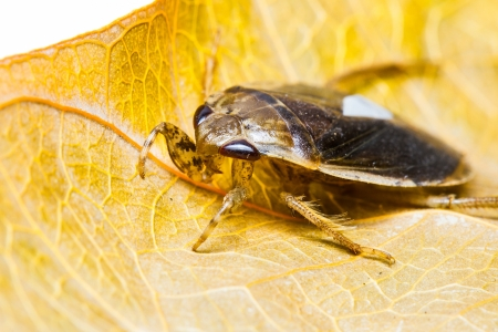 Close up young giant water bug on leaf