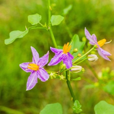 submissiveness: Eggplant plant with purple flower