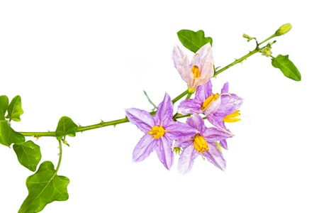 submissiveness: Eggplant plant with purple flower on white background Stock Photo